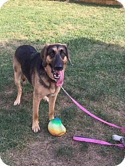 German Shepherd Dog/Bloodhound Mix Dog for adoption in Red Lion, Pennsylvania - Mable