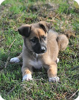 Shepherd (Unknown Type) Mix Puppy for adoption in Westerly, Rhode Island - Penelope
