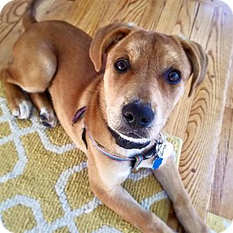 Mixed Breed (Large)/Black Mouth Cur Mix Puppy for adoption in Huntington, New York - Louise