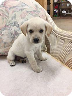 Rottweiler/Labrador Retriever Mix Puppy for adoption in Sturbridge, Massachusetts - Anna
