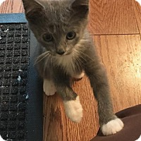 Domestic Shorthair Kitten for adoption in Devon, Pennsylvania - Gabriel Grant and Genie