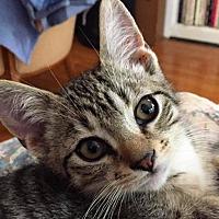 Adopt A Pet :: Percy (Persuval) - LaGrange Park, IL