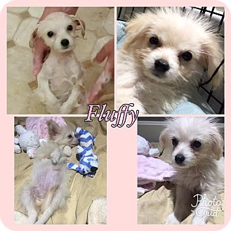 Yorkie, Yorkshire Terrier/Chihuahua Mix Puppy for adoption in Hagerstown, Maryland - Fluffy RBF