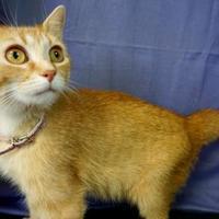 Domestic Shorthair/Domestic Shorthair Mix Cat for adoption in Salem, Ohio - Alice
