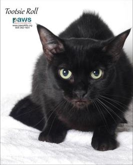 Domestic Mediumhair/Domestic Shorthair Mix Cat for adoption in Belle Chasse, Louisiana - Tootsie Roll