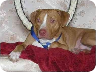 Pit Bull Terrier/Pointer Mix Dog for adoption in Brooklyn, New York - Max