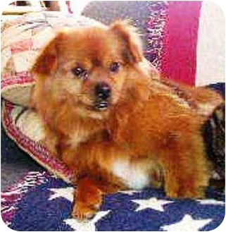 Pomeranian/Pekingese Mix Dog for adoption in Osseo, Minnesota - Sunny