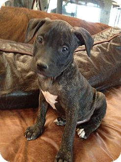 Labrador Retriever/American Pit Bull Terrier Mix Puppy for adoption in Spring City, Pennsylvania - Henry