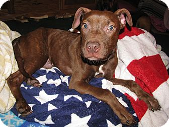 American Staffordshire Terrier Puppy for adoption in Painesville, Ohio - Maggie