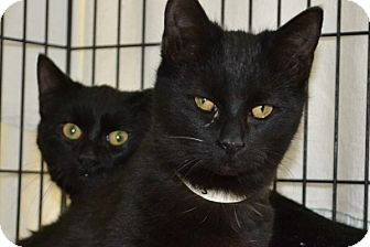 Domestic Shorthair Kitten for adoption in Elyria, Ohio - Winkin & Blinkin