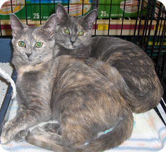 Domestic Shorthair Cat for adoption in Richmond, Virginia - Brie