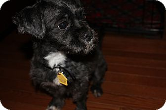 Shih Tzu Mix Dog for adoption in Middle Village, New York - LUCKY LUCIANO