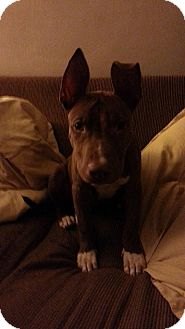 Bull Terrier Mix Puppy for adoption in New Baltimore, Michigan - Batman