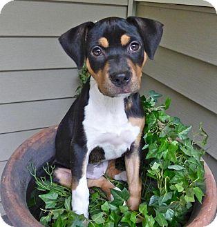 Rat Terrier/Bernese Mountain Dog Mix Puppy for adoption in Baton Rouge, Louisiana - Daphne
