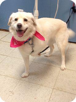 American Eskimo Dog Mix Dog for adoption in Maryville, Illinois - Lemon