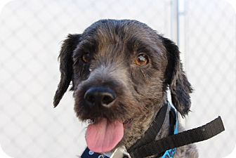 Poodle (Miniature) Mix Dog for adoption in Long Beach, California - Fletcher