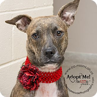 Pit Bull Terrier Mix Dog for adoption in Troy, Ohio - Sally