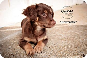 Dachshund/Chihuahua Mix Puppy for adoption in Shawnee Mission, Kansas - Newcastle