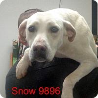 Adopt A Pet :: Snow - Greencastle, NC