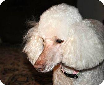 Standard Poodle Dog for adoption in Elk River, Minnesota - WINNIE
