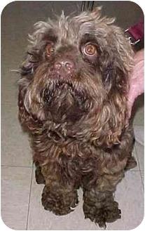 Cockapoo Dog for adoption in North Judson, Indiana - Benjamin