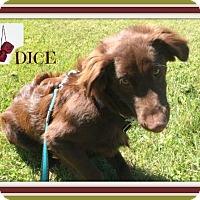 Adopt A Pet :: Dice - New Richmond,, WI