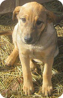 Hound (Unknown Type)/Bluetick Coonhound Mix Puppy for adoption in Hillsboro, Ohio - Delta
