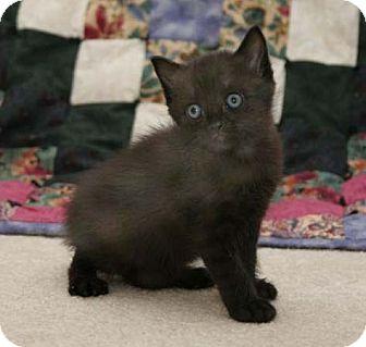 Domestic Shorthair Kitten for adoption in Wakefield, Massachusetts - Jazz
