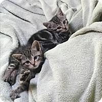 Adopt A Pet :: Iggy and Ziggy - Southington, CT