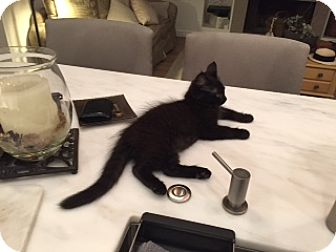 Bombay Kitten for adoption in Monrovia, California - Storm