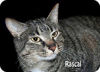 Domestic Shorthair Cat for adoption in Idaho Falls, Idaho - Rascal