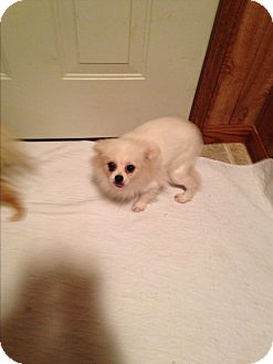 Pomeranian Dog for adoption in Butler, Ohio - Sandy