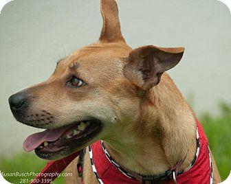 Carolina Dog/Labrador Retriever Mix Dog for adoption in Seattle, Washington - Foxi Roxi