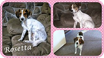 Beagle/Hound (Unknown Type) Mix Dog for adoption in DOVER, Ohio - Rosetta