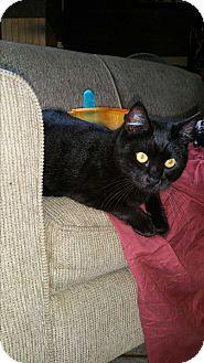 Domestic Shorthair Cat for adoption in Madera, California - Bernice