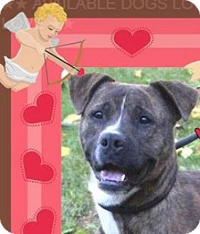 American Pit Bull Terrier Mix Dog for adoption in Red Bluff, California - EDDY:Low Fees-Neutered