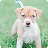 Adopt A Pet :: Madelyn $250 - Seneca, SC
