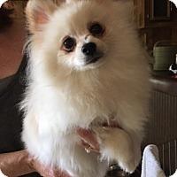 Adopt A Pet :: Puff - Temecula, CA