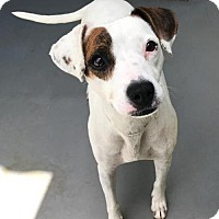 Jack Russell Terrier/Beagle Mix Dog for adoption in Newport Beach, California - Harmony