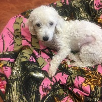 Adopt A Pet :: LEXUS 1 YEAR POODLE FEMALE - Mesa, AZ