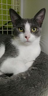 Domestic Shorthair Cat for adoption in San Antonio, Texas - Becky