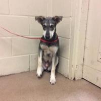 Adopt A Pet :: 36599889 - Anderson, SC