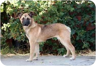 German Shepherd Dog Mix Puppy for adoption in West Los Angeles, California - Jessica