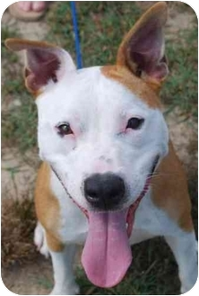 American Staffordshire Terrier Mix Dog for adoption in Vineland, New Jersey - Katie
