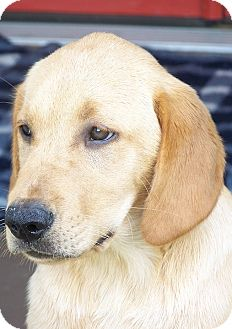 Labrador Retriever/Golden Retriever Mix Puppy for adoption in Knoxville, Tennessee - Newman