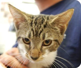 Domestic Shorthair Cat for adoption in Brooklyn, New York - Joan