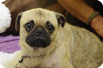 Pug Dog for adoption in Elyria, Ohio - Samson