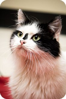 Maine Coon Cat for adoption in Chicago, Illinois - Bart