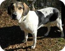 Beagle/Border Collie Mix Dog for adoption in Portland, Maine - Bowser