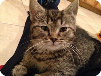 Domestic Shorthair Kitten for adoption in East Hanover, New Jersey - Macy